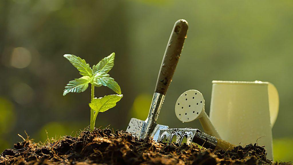Pielęgnacja Roślin Konopi Podczas Uprawy Outdoor, SprawdzoneNasiona