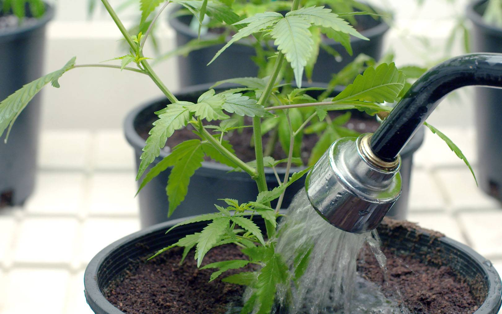 Podlewanie Rośliny Marihuany, Konopi, SprawdzoneNasiona