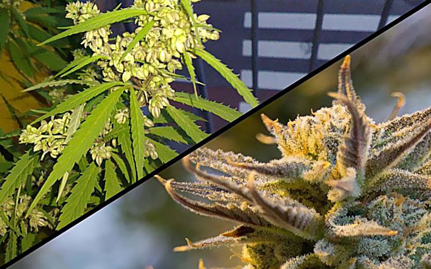 Produkcja Nasion Marihuany Czy Tylko Mocny Plon, SprawdzoneNasiona